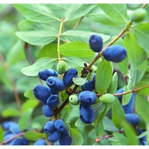Blauwe honingbessen plant - Duet