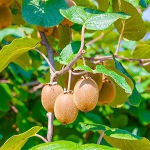 Zelfbestuivende kiwiplant - Jenny