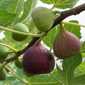 SuperFruit Vijgenplant - Brown Turkey