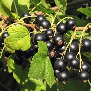 Kruising cassisbes/kruisbes plant  - Josta