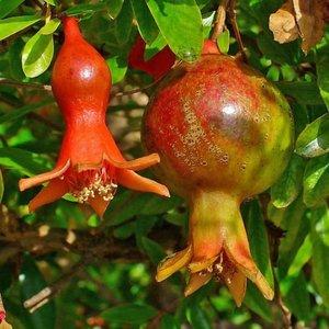 Granaatappel plant