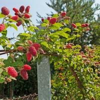 Frambramenplant- Tayberry