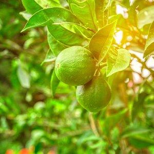 Limoenplant