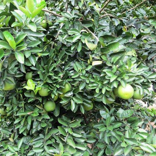 SuperFruit Limoen - Lime Verde