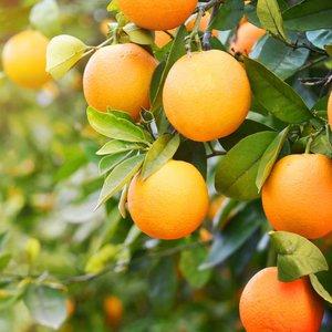 Sinaasappelplant