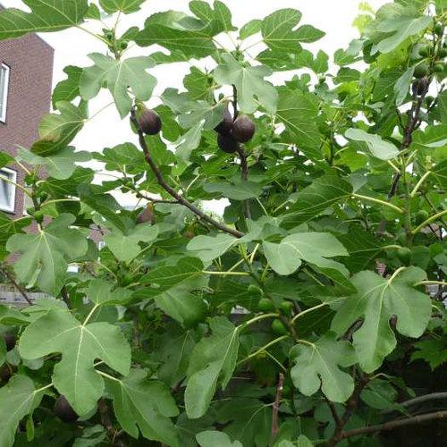 Vijgenplant voor op het balkon - Brown Turkey