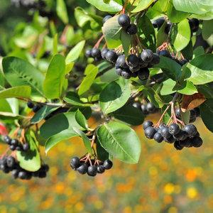 Appelbessen plant
