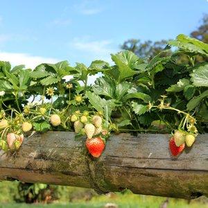 Aardbeienplant - Starterspakket