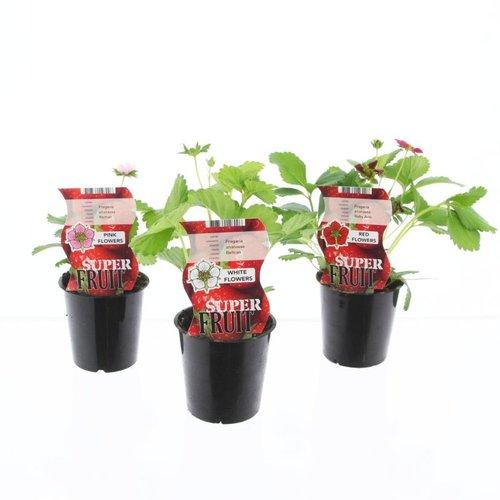 Aardbeienplanten pakket