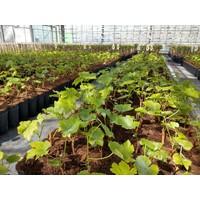 Witte druivenplant - Bianca