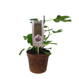 Vijgenplant - Organic