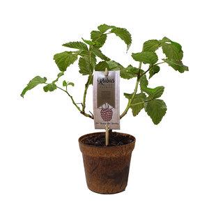 Frambozenplant (frambozenstruik)