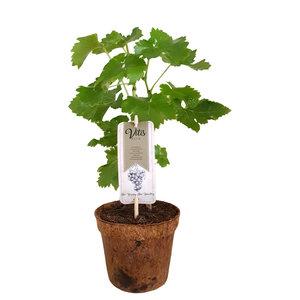 Blauwe druivenplant Organic Family - Beta