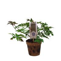 Zwarte Bramenplant Organic Family