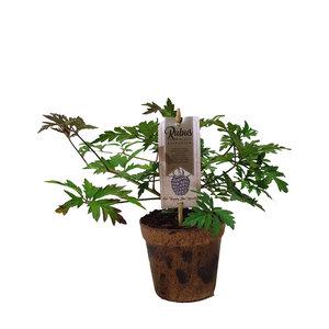 Zwarte bramenplant (bramenstruik)