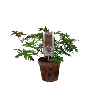 Zwarte bramenplant - Thornless Evergreen - Organic