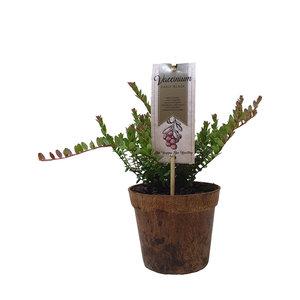 Cranberryplant - Organic