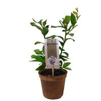 Blauwe Bessenplant Organic Family