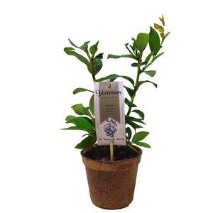 Blauwe bessenplant