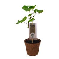 Witte Druivenplant Organic Family