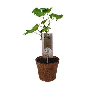 Witte druivenplant