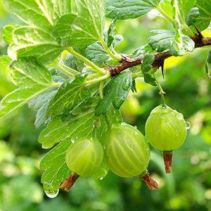 Go Berry plantpakket