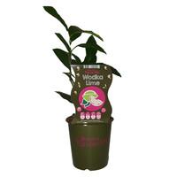 Limoenplant - Fruticos Favorites