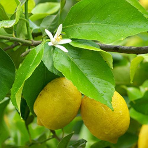 Citroenplant  voor in de tuin - Lemon Lover