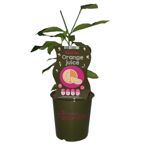 Sinaasappelplant - Fruticos Favorites