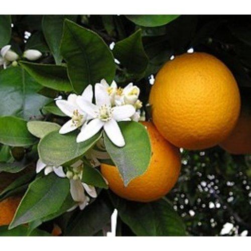 Sinaasappelplant - Orange Juice