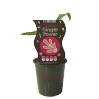 Gemberplant - Fruticos Favorites