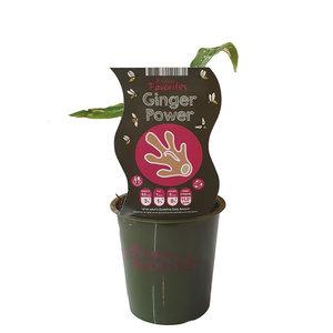 Gemberplant - Ginger Power