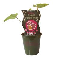 Zoete aardappelplant - Fruticos Favorites