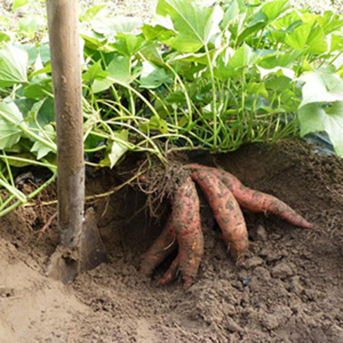Zoete aardappelplant in de volle grond - Sweet Patato Fries