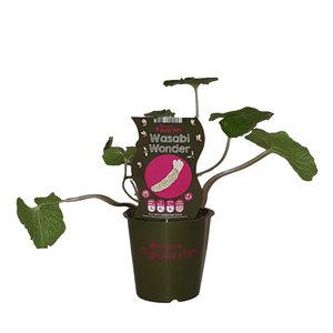 Wasabi plant - Fruticos Favorites