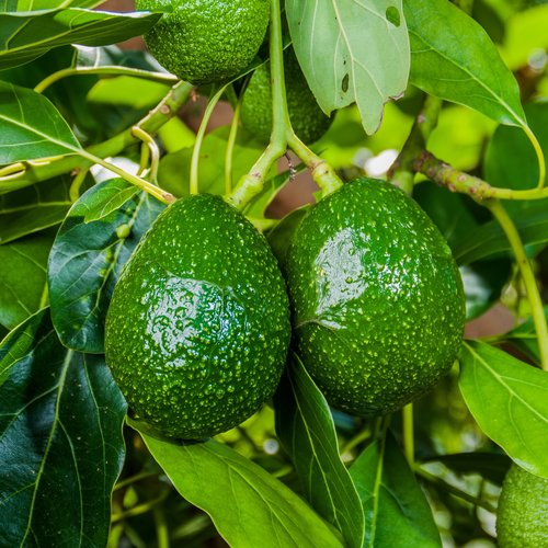 Avocado plant groeien in de tuin - Avocado Bowl