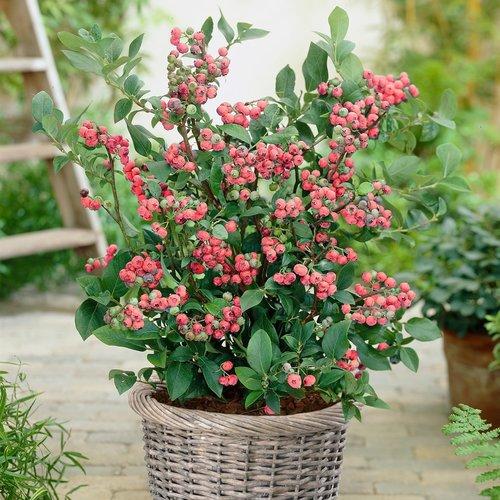 XL-planten