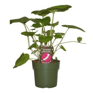 Wasabi plant XL - Wasabi Wonder