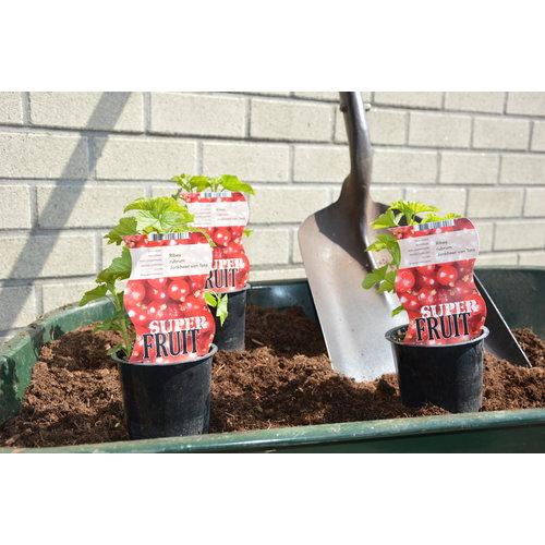 Rode aalbessenplant  - Jonkheer van Tets