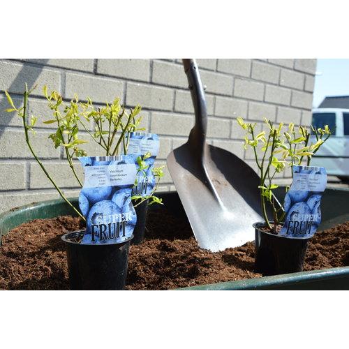 Blauwe Bosbessenplant -  Northland