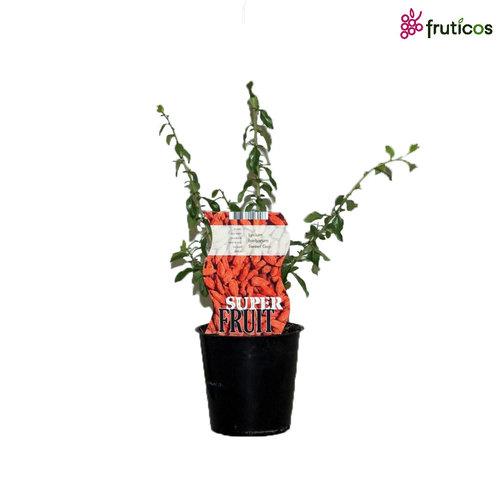 Gojibessenplant