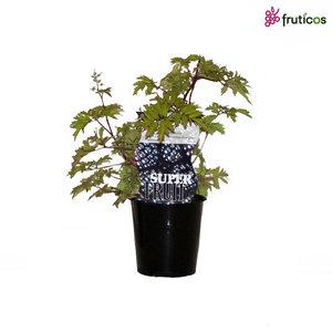 Bramenplant - Groenblijvend