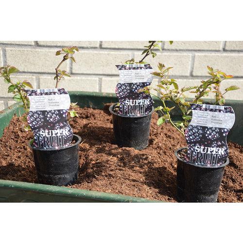 Zwarte Bramenplant - Thornfree