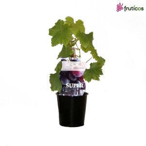 Blauwe Druivenplant  - Glory