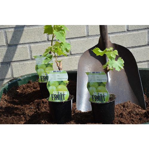 Witte druivenplant - Vroege van der Laan