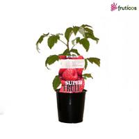 Rode Frambozenplant Zomer