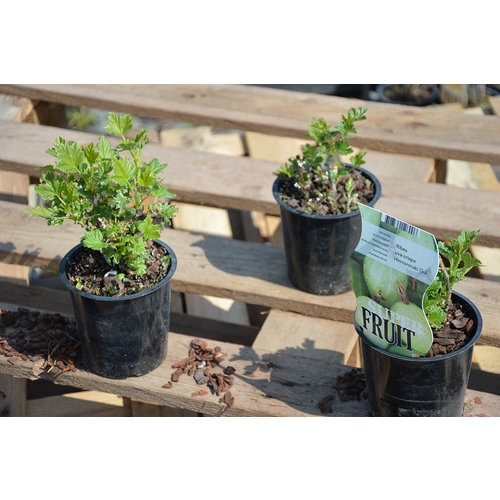 Gele Kruisbessenplant  - Hinnonmaki Gül