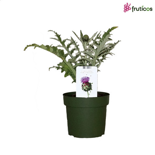 Artisjokplant-XL - Purple of Romagna