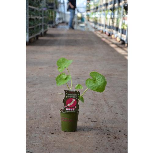 Wasabi plant in eigen tuin - Wasabi Wonder