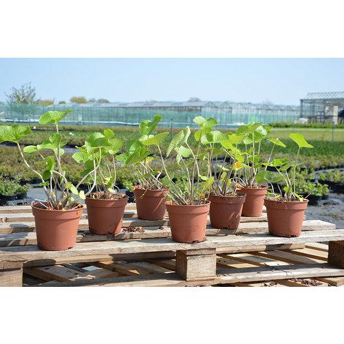 Wasabi plant XL - 'Wasabi Wonder'